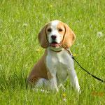 Mocki,eine kleine Beagle-Dame
