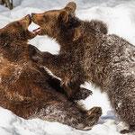 Braunbären, Bayerischer Wald, Februar 2015