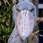 2005.7.27~ 上野動物園 ハトゥーウェ♂