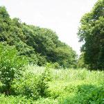 谷戸内は湿性のオギが自然繁茂している