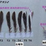 写真7 アオジの羽根の同定 町田市 K
