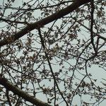 3/29 開花