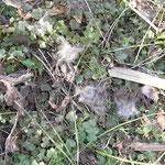 写真9 ノウサギ?の獣毛