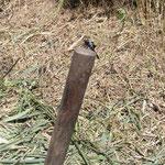 鍬の柄に止まるオオシオカラトンボ