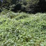 カナムグラが繁茂し、他の植物に覆い被さる