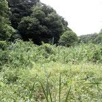 谷戸内は外来高茎植物が密集して繁茂