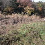 写真3 枯れたカナムグラがヨシに絡んでいる
