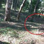 写真1 ①場所 ヤブムグラ自生地は紐と杭で注意を喚起している
