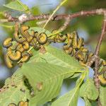 コブシハバチ幼虫