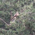 対岸の杉の木にとまるノスリ 撮影は昨年10月