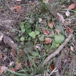 ダイコンソウの根出葉