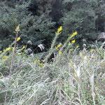 秋に向けてセイタカアワダチソウの黄色の花が一面にある