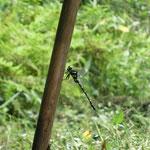 写真10 オニヤンマ鍬の柄に止まる