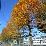 間々田小の並木