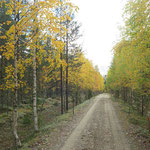 Cottage road decorated with autumn birch trees