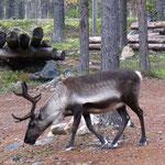 reindeers visit us regularly, photos made through cottage windows .