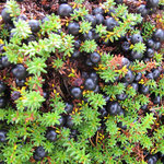 crowberry season