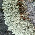 lichen on rocks