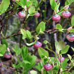 blueberries blooming