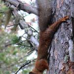 little squirrell