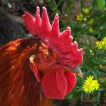 El gallo intrépido