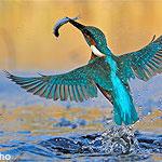 Juwel aus naturschutzfachlicher Sicht- der Eisvogel