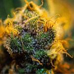 Cannabis Sorte 2