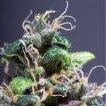 Cannabis Sorte 5