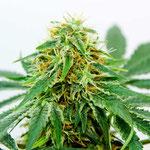 Cannabis Sorte 4