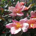 le rosier de chine Mutabilis et sa palettes de couleurs