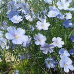 les touches de bleu léger et gracieux du lin