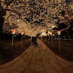 三嶋大社の夜桜