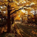 日大三島前銀杏並木