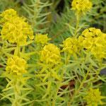 Euphorbia seguieriana ssp. niciciana, Foto: Winfried Rusch