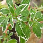 Alstroemeria pulchella 'Variegata'