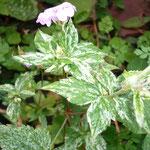 Geranium nodosum 'Variegata'