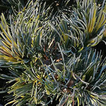 Pinus parviflora 'Fukai', Foto: Uwe Greßmann