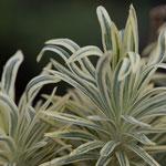 Euphorbia characias 'Emmer Green', Foto: Winfried Rusch