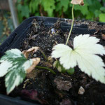Anemone hupehensis var. japonica 'Variegata'