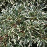 Quercus cerris 'Variegata', Foto: Olaf Schachtschneider