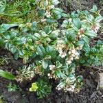 Vaccinium vitis-idaea 'Silver Spot'