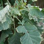 Brassica oleracea var. acephala, Foto: Uwe Greßmann