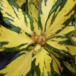 Rhododendron 'Goldshine'