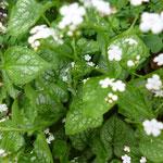 Brunnera macrophylla 'Mr. Morse'