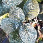 Viburnum lantana 'Aureovariegata', Foto: Uwe Greßmann