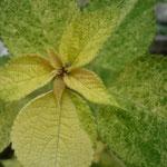 Boehmeria nipononivea 'Kogane Mushi'