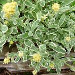 Aurinia saxatiles 'Dudley Neville'