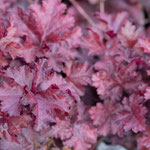 Heuchera micrantha 'Red Sea', Foto: Winfried Rusch