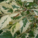Betula nigra 'Shiloh Splash'