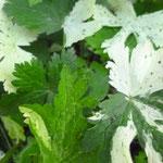 Geranium phaeum 'Lustige Witwe'